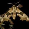 des papillons nocturnes