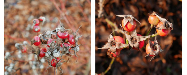 des cynorhodons | rosehips
