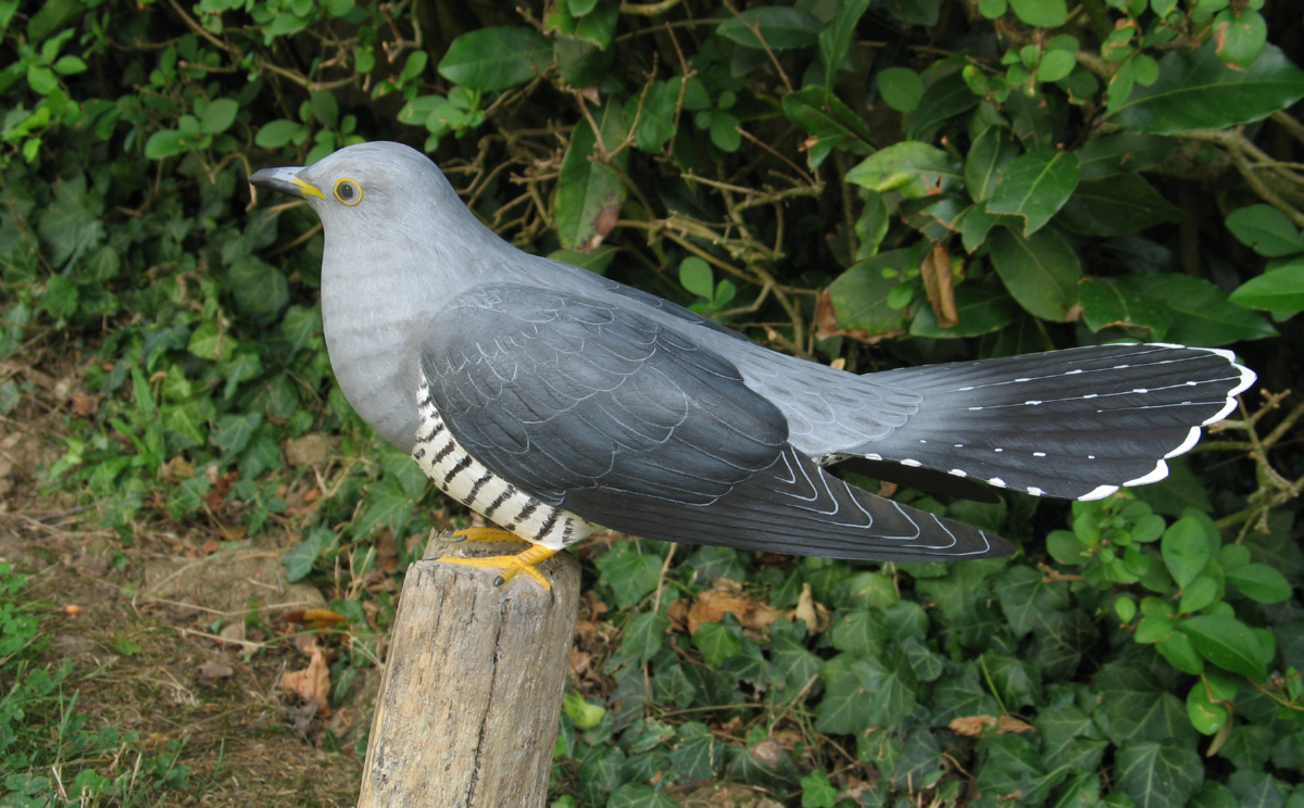 11lecoucougrisetlepiquetdepaturejpeg ~ Le Coucou Des Bois Oiseau