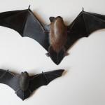 la noctule commune (la pipistrelle commune en bas)