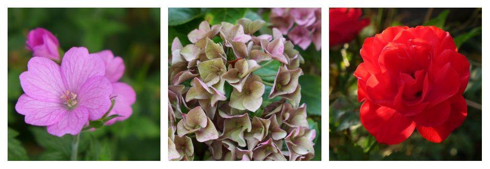 geranium, hortensia et rosa