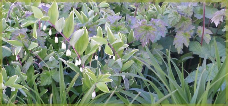 Polygonatum, Hemerocallis et Anemone, un camaïeu de vert