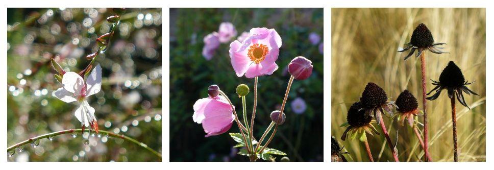 gaura, anemone et rudbeckia