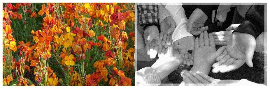 les giroflées ravenelle, la chrysomèle noire et les mains