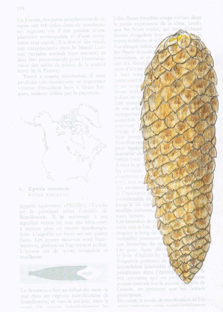 un épicéa commun, a norway spruce