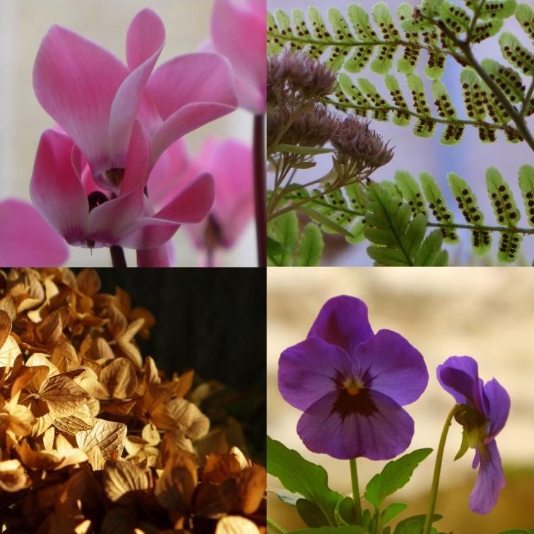 cyclamen, dryopteris, hortensia et viola, 2016 11 28