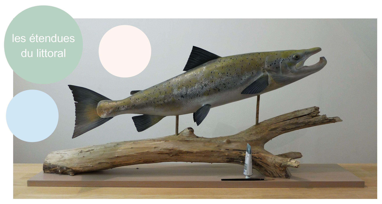 un saumon atlantique, an atlantic salmon