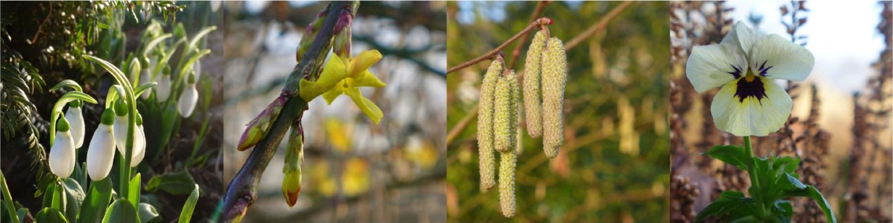 perce-neige, jasmin d'hiver, noisetier et violette cornue