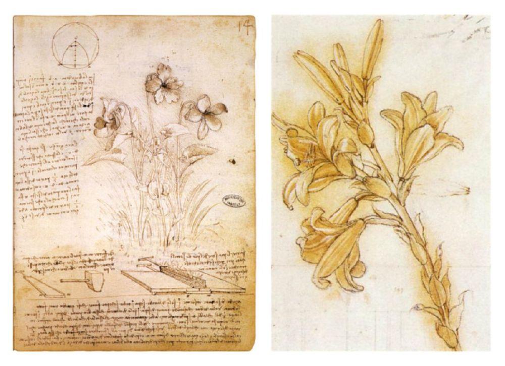 illustration botanique Leonardo da Vinci