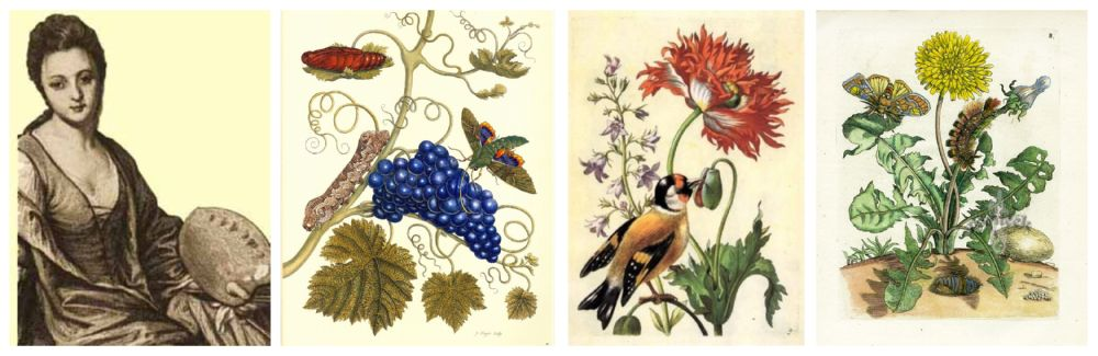 histoire illustration botanique Maria Sybilla Merian