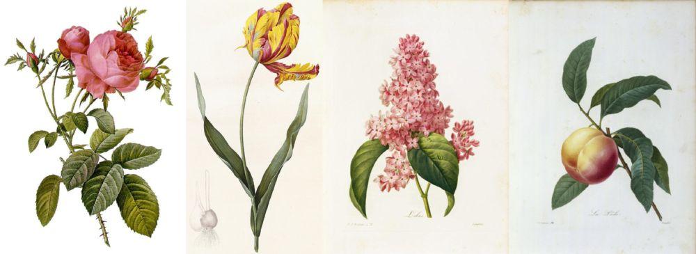 histoire illustration botanique Pierre-Joseph Redouté