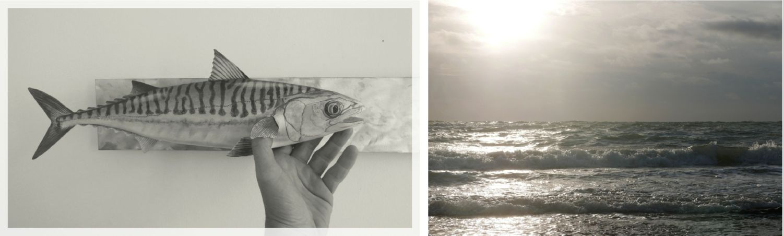 un maquereau commun, an atlantic mackerel, 40 cm