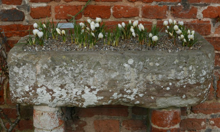 eric billion, crocus 'snow bunting', at sissinghurst garden