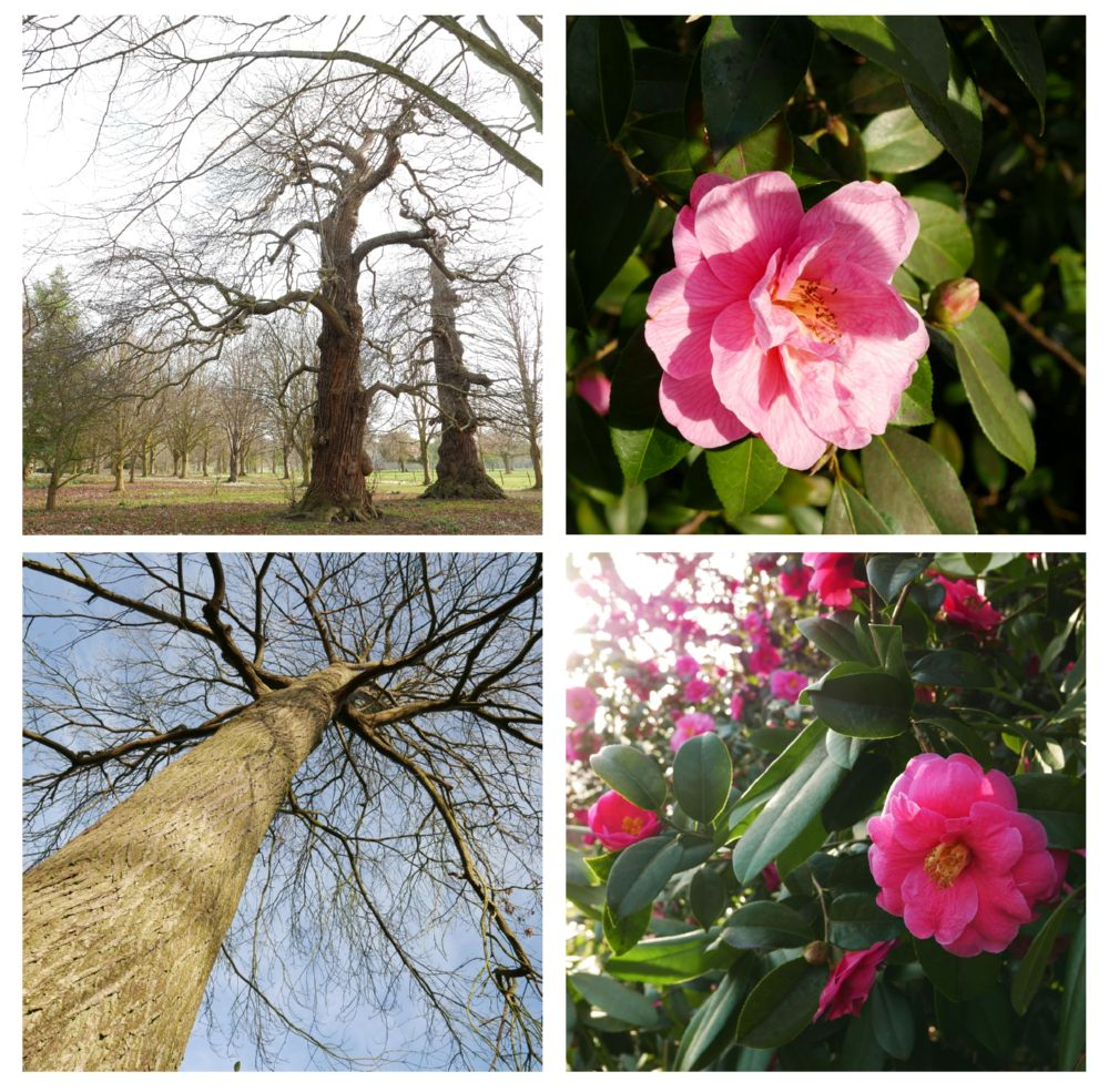 eric billion, goodnestone gardens, chesnuts and camellias