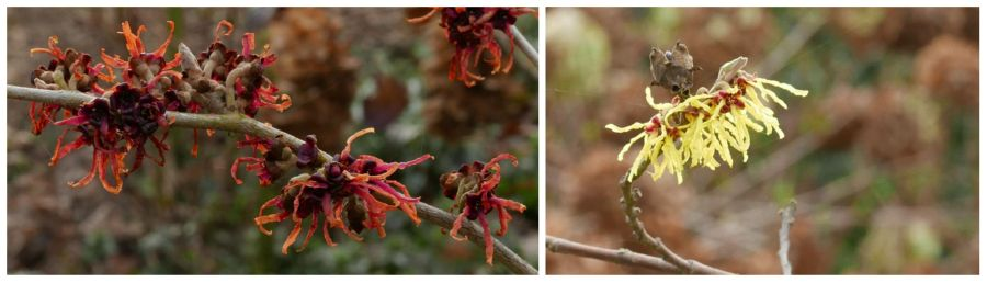 eric billion, goodnestone gardens, hamamelis, 2