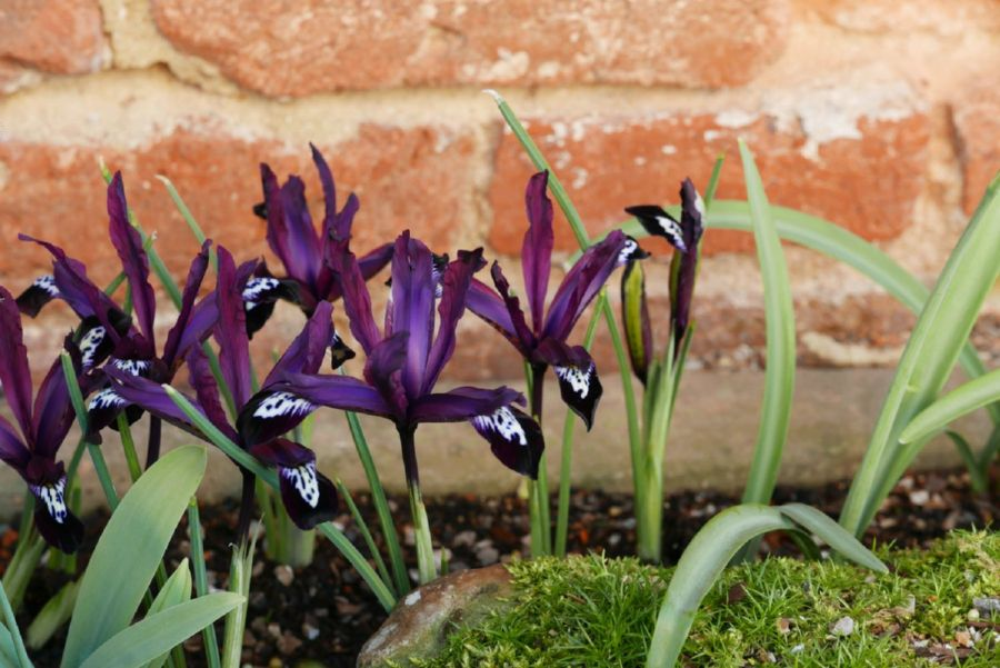 eric billion, iris reticulata 'pauline', at sissinghurst garden