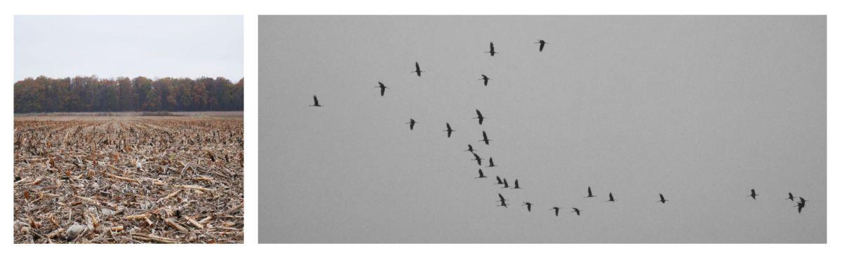 entre Planrupt et Droyes, les Grues | between Planrupt and Droyes, the common Cranes
