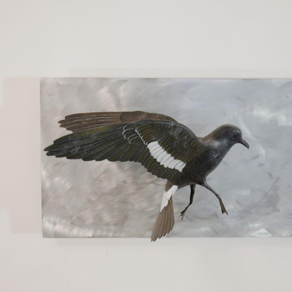 l'Océanite tempête |the storm Petrel | envergure| wingspan 32 cm