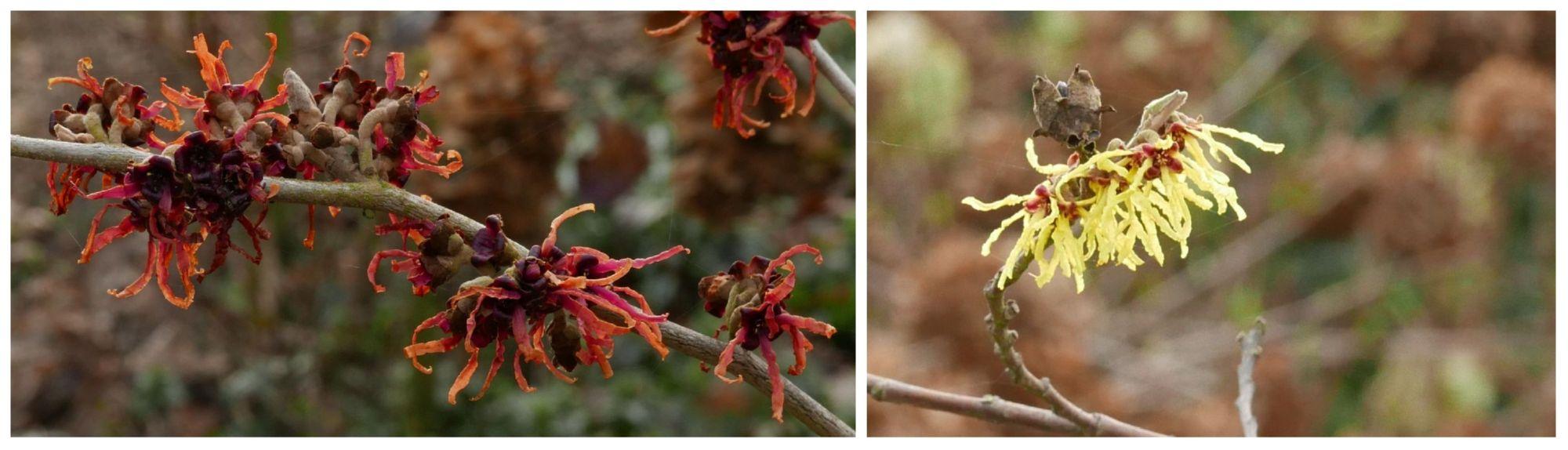 Hamamelis X intermedia 'Ruby Glow', Hamamelis mollis 'Pallida', Goodnestone Park Gardens, 18th February 2018