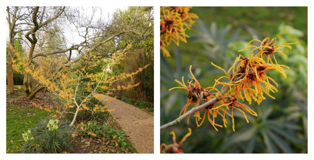 Hamamelis X intermedia 'Vesna', Nymans, 13th January 2019