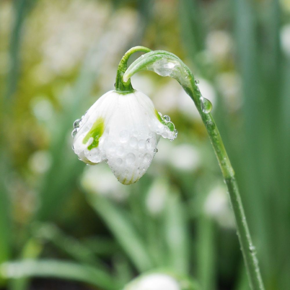 Snowdrop at Polesden Lacy 5th February 2019