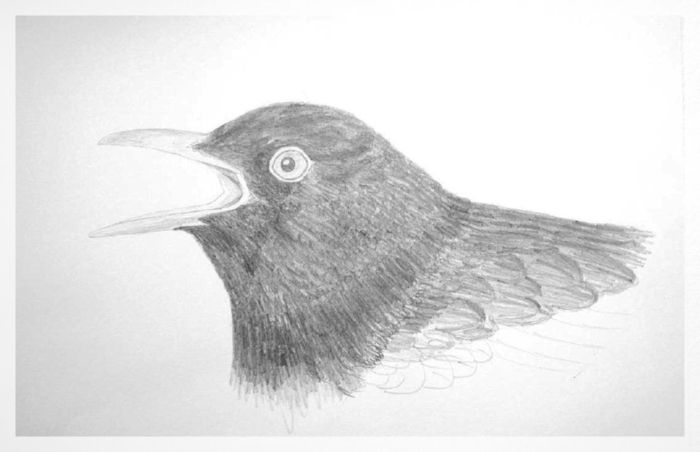 black bird sketch