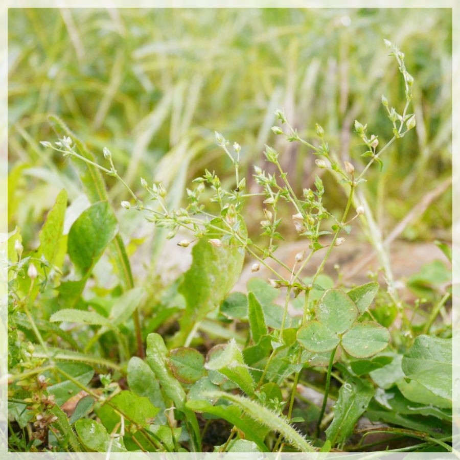 the thyme leaved sandwort