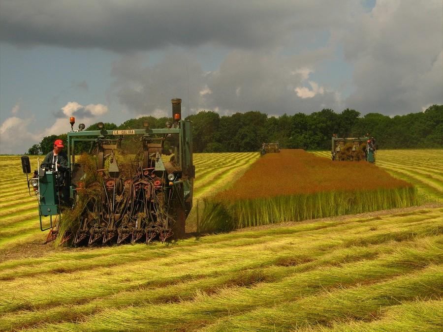 the flax harvesting, la campagne du lin